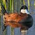 Male, summer/breeding plumage