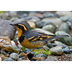 Male. Note: bold orange supercilium, dark breast-band, and bold patterned wings.