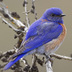 Male. Note: dark blue head, back and wings.